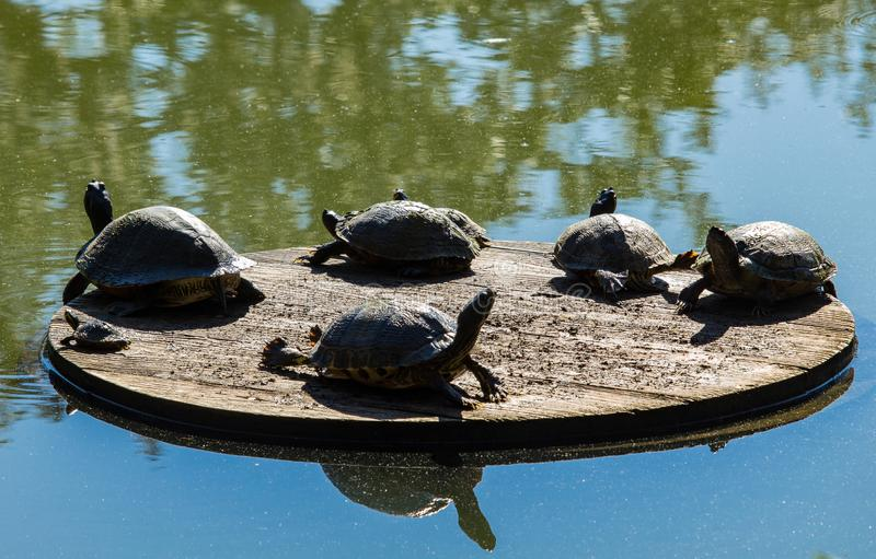 Χελώνες σε μια γέφυρα ήλιων στοκ φωτογραφίες