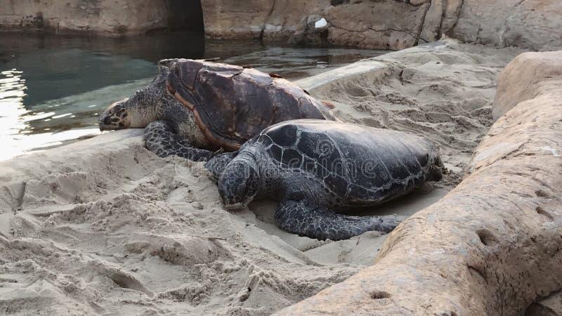 Χελώνες στην παραλία στοκ φωτογραφία με δικαίωμα ελεύθερης χρήσης