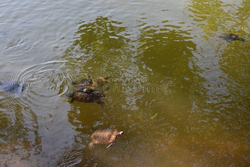 Χελώνες στη λίμνη στοκ εικόνες