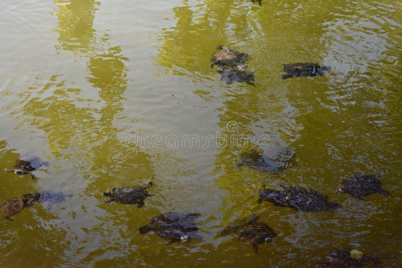 Χελώνες στο νερό στοκ φωτογραφίες