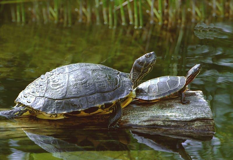χελώνες Στοκ εικόνες με δικαίωμα ελεύθερης χρήσης