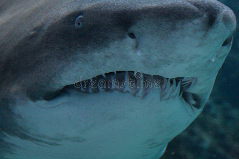 09 23 2008, Χερσόνησος, Κρήτη, Ελλάδα στενός επικεφαλής καρχ&alpha στομάχι με τα πολυάριθμα δόντια καρχαριών στοκ φωτογραφία με δικαίωμα ελεύθερης χρήσης