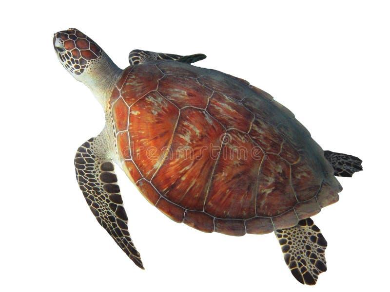 Χελώνα θάλασσας που απομονώνεται στο άσπρο υπόβαθρο στοκ φωτογραφία με δικαίωμα ελεύθερης χρήσης
