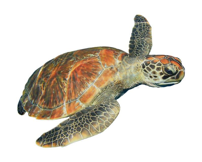 Χελώνα θάλασσας που απομονώνεται στοκ φωτογραφία με δικαίωμα ελεύθερης χρήσης