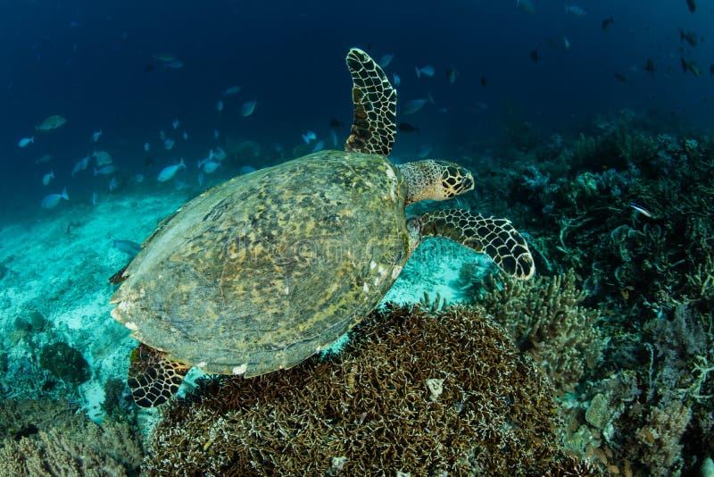 Χελώνα θάλασσας Hawksbill και κοραλλιογενής ύφαλος στην Ινδονησία στοκ φωτογραφία με δικαίωμα ελεύθερης χρήσης