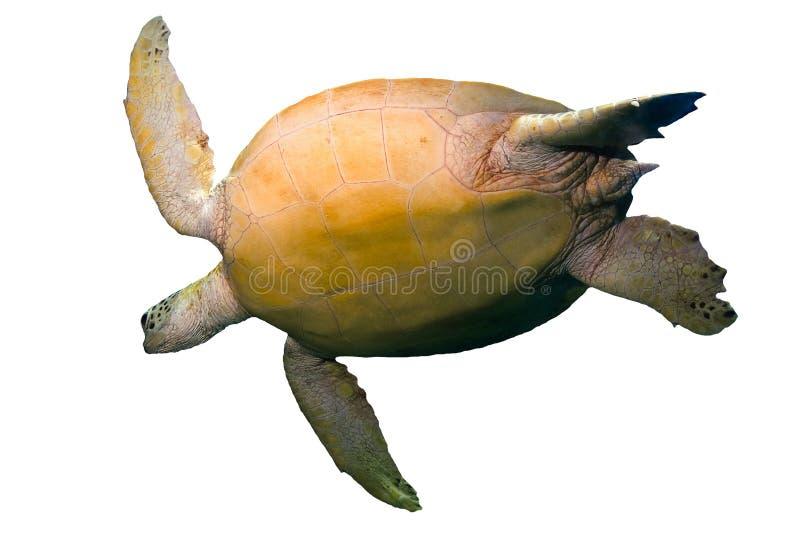Χελώνα πράσινης θάλασσας που απομονώνεται στο άσπρο υπόβαθρο στοκ εικόνες