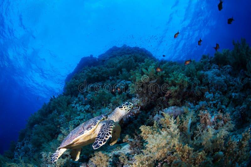 Χελώνα πράσινης θάλασσας σε έναν σκόπελο στοκ εικόνες