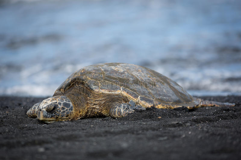 Χελώνα πράσινης θάλασσας στη μαύρη παραλία άμμου στη Χαβάη μεγάλο island1 στοκ φωτογραφίες