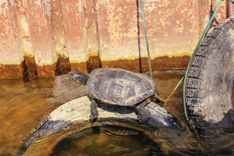 Χελώνα στη λίμνη στοκ φωτογραφία με δικαίωμα ελεύθερης χρήσης