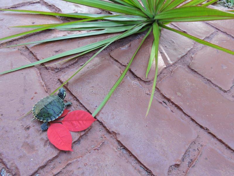 Χελώνα στο κόκκινο στοκ εικόνα με δικαίωμα ελεύθερης χρήσης
