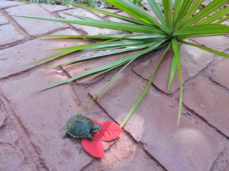Χελώνα στο κόκκινο στοκ εικόνες με δικαίωμα ελεύθερης χρήσης