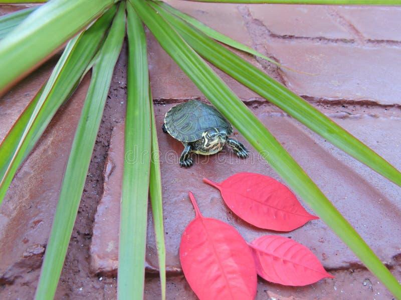 Χελώνα στο κόκκινο στοκ εικόνες