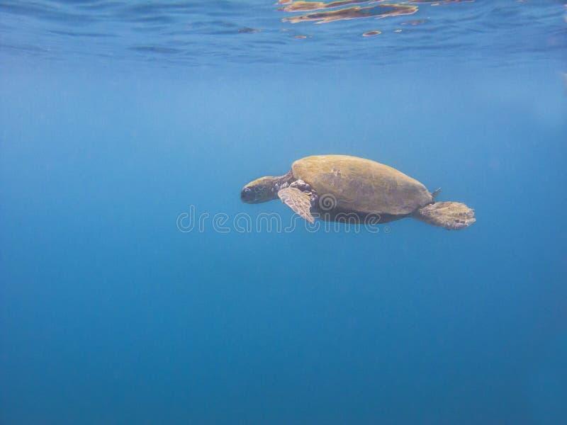Χελώνα στο μπλε στοκ φωτογραφίες με δικαίωμα ελεύθερης χρήσης