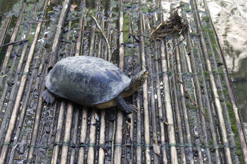 Χελώνα στο νερό στοκ φωτογραφία
