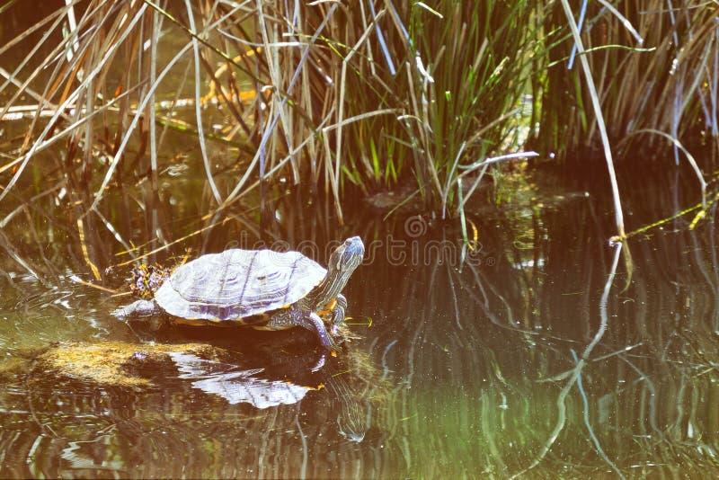 Χελώνα στο νερό στοκ φωτογραφία με δικαίωμα ελεύθερης χρήσης