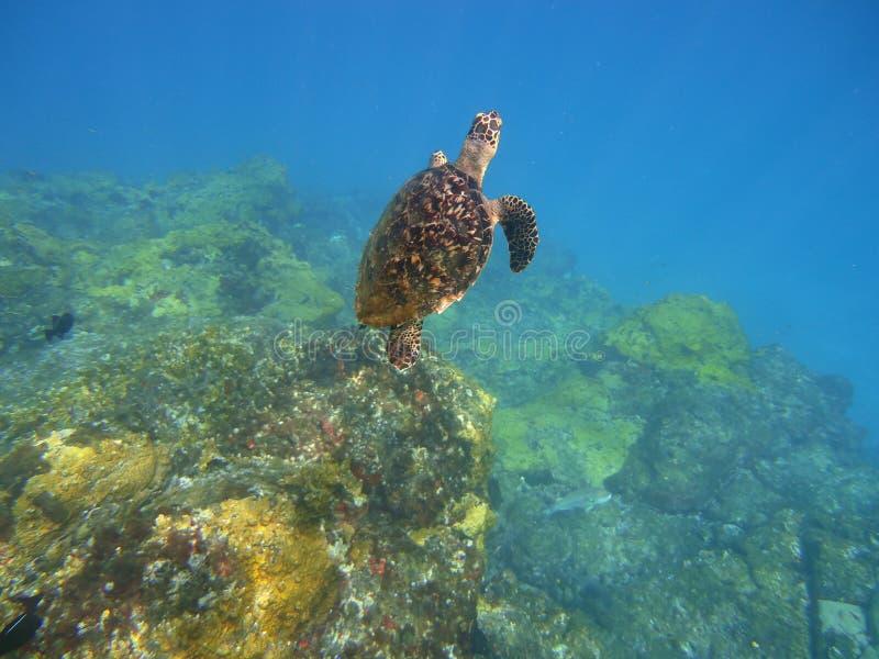 Χελώνα στο Fernando de Noronha στοκ φωτογραφίες