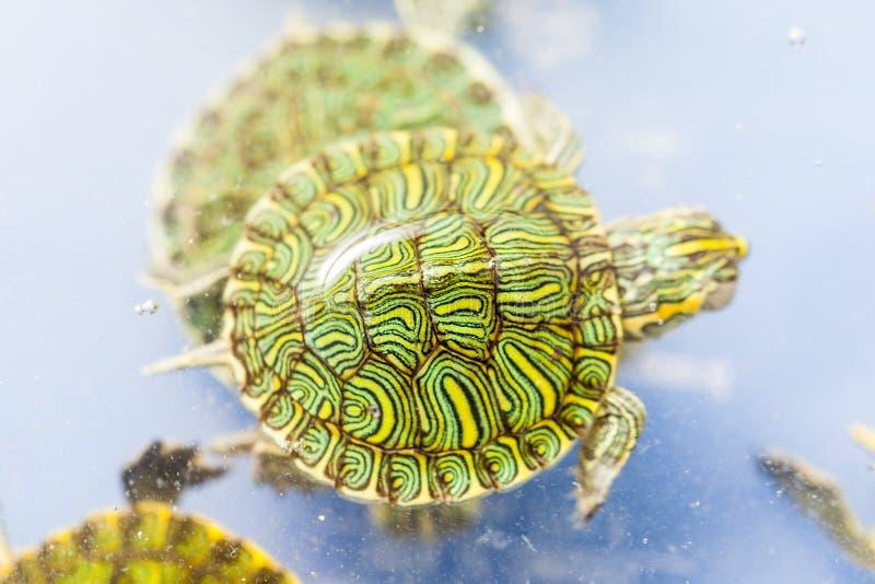 Χελώνα της Pet στοκ φωτογραφία με δικαίωμα ελεύθερης χρήσης