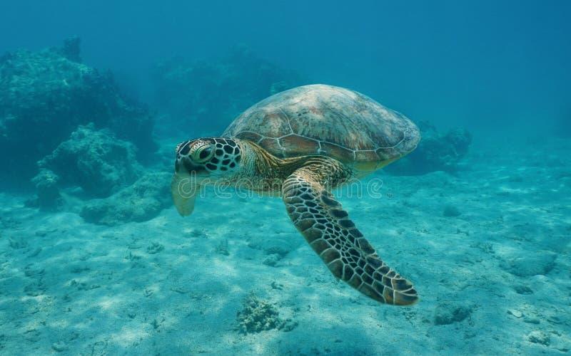 Χελώνα υποβρύχια ωκεάνια γαλλική Πολυνησία πράσινης θάλασσας στοκ εικόνα