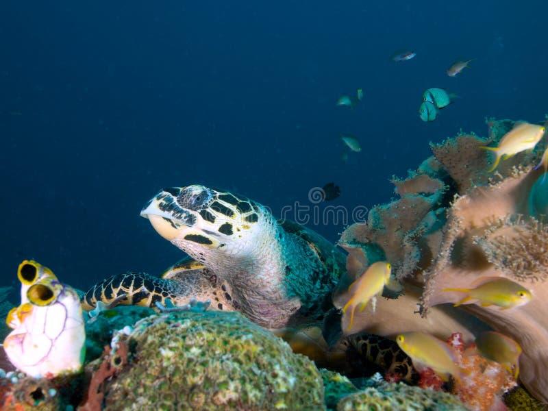 Χελώνα Hawksbill που στηρίζεται στην κοραλλιογενή ύφαλο σε Raja Ampat, Ινδονησία στοκ φωτογραφίες