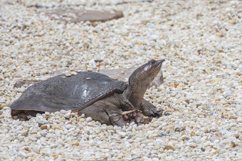 Χελώνα Softshell που γεννά τα αυγά στοκ φωτογραφία