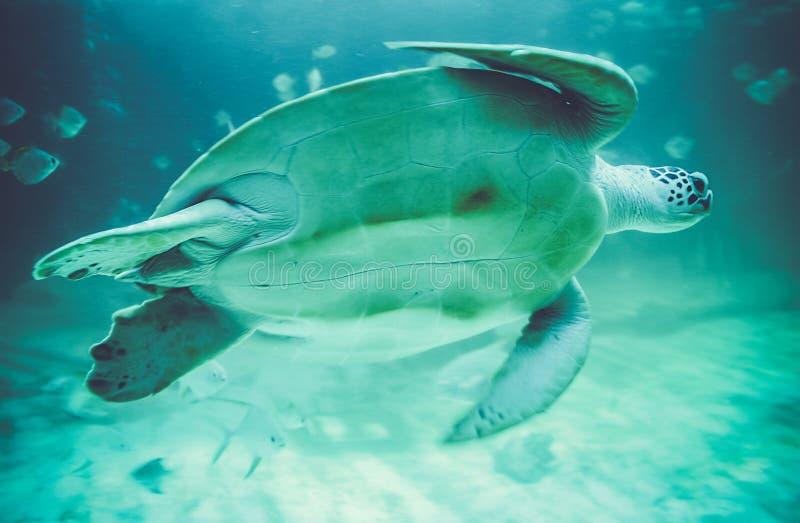 Χελώνες θάλασσας στο oceanarium στοκ φωτογραφία με δικαίωμα ελεύθερης χρήσης