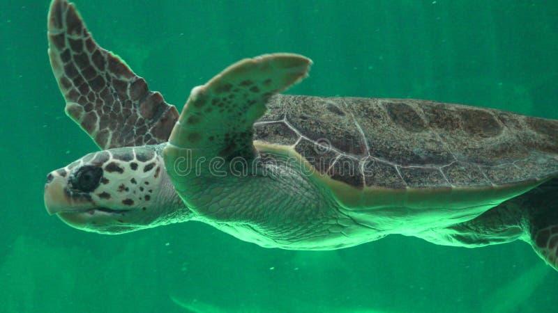 Χελώνες και ερπετά θάλασσας στοκ εικόνες
