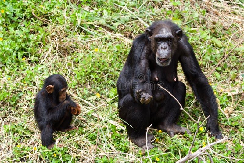 χιμπατζές στοκ φωτογραφία με δικαίωμα ελεύθερης χρήσης