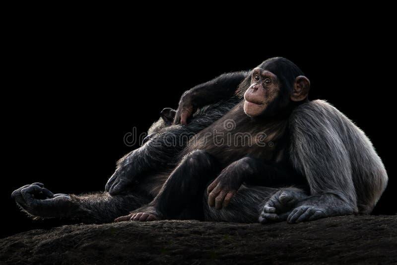 Χιμπατζής και μητέρα μωρών στοκ εικόνα