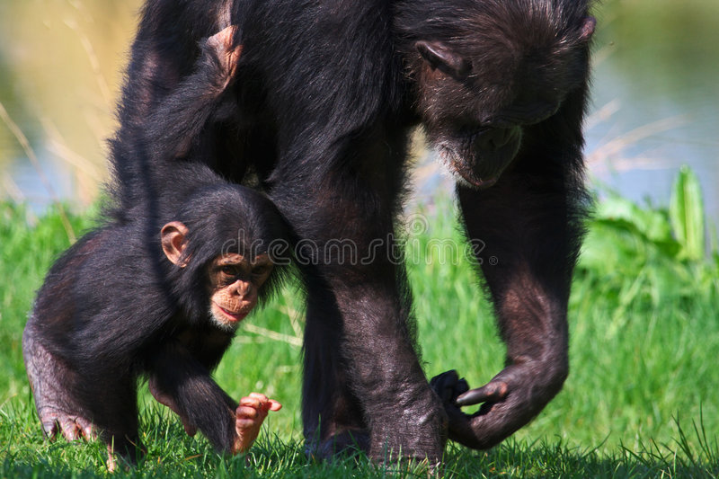 χιμπατζής μωρών το περπάτημα μητέρων του στοκ εικόνα με δικαίωμα ελεύθερης χρήσης