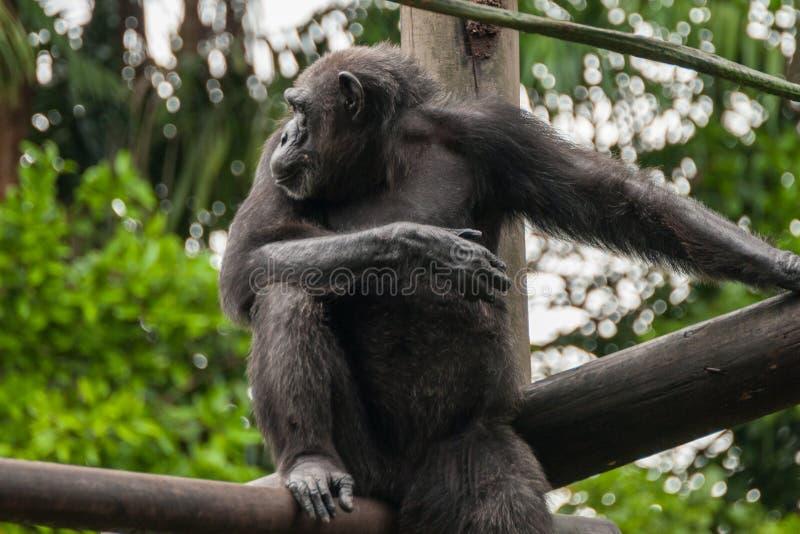 Χιμπατζής στο ζωολογικό κήπο στοκ φωτογραφία με δικαίωμα ελεύθερης χρήσης