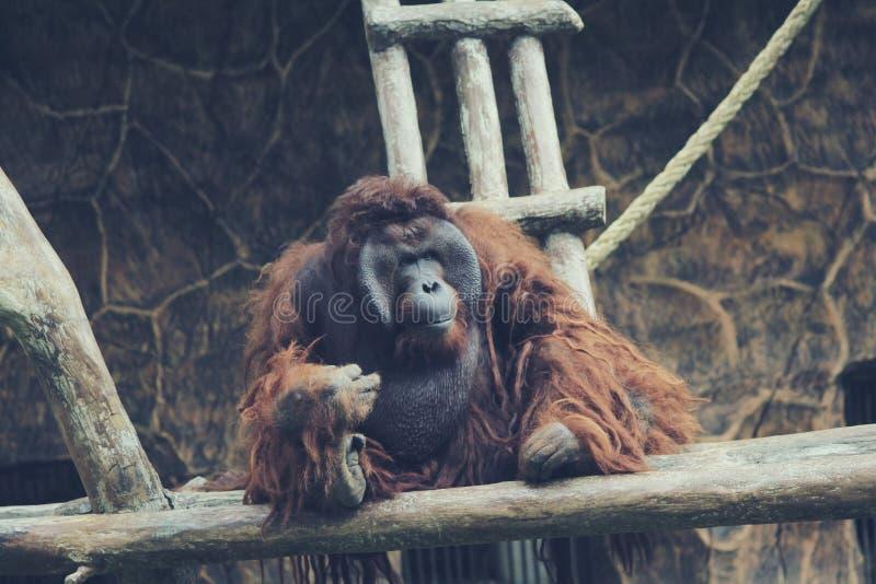Χιμπατζής στο ζωολογικό κήπο 2 στοκ φωτογραφία με δικαίωμα ελεύθερης χρήσης