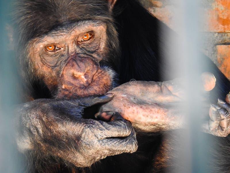 χιμπατζής στοκ εικόνες