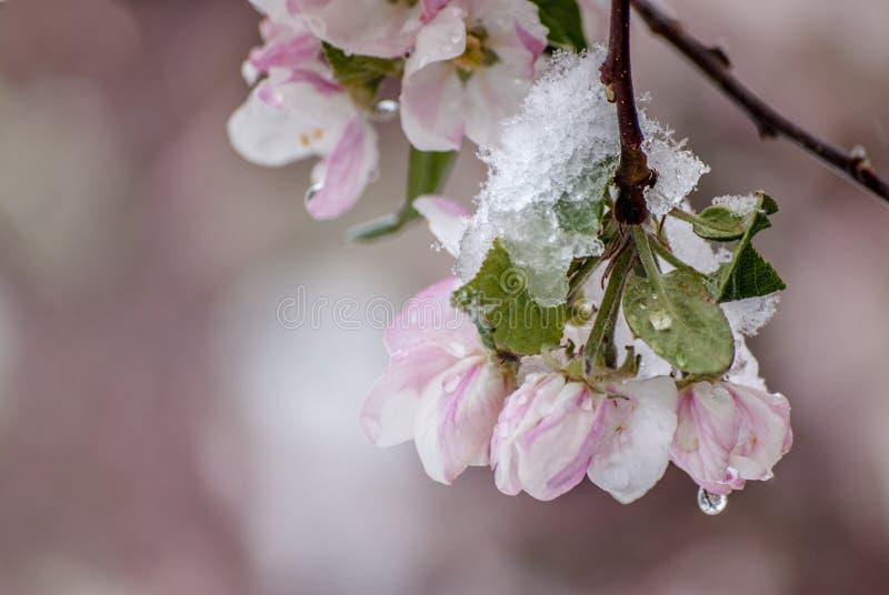 Χιονισμένα άνθη της Apple καβουριών την πρώιμη άνοιξη στοκ φωτογραφία με δικαίωμα ελεύθερης χρήσης