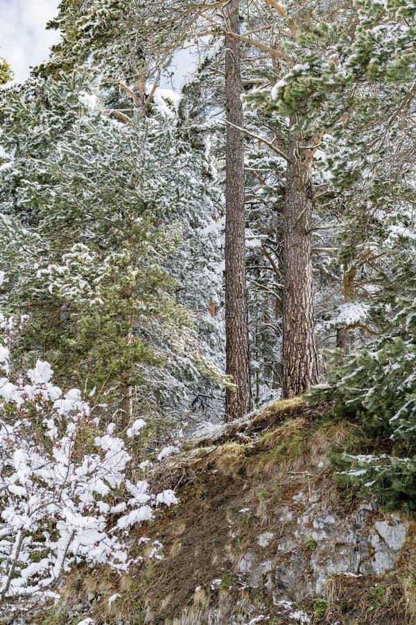 Χιονισμένα δέντρα πεύκων σε ένα χειμερινό δάσος στοκ φωτογραφία με δικαίωμα ελεύθερης χρήσης