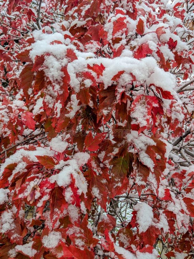Χιονισμένα κόκκινα φύλλα σφενδάμου στοκ εικόνα