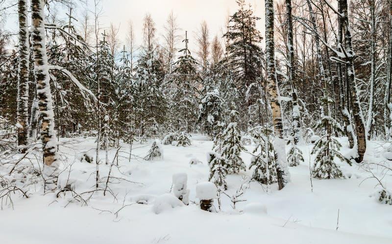 Χιονισμένα σημύδες και έλατα στο χειμερινό δάσος στοκ εικόνες