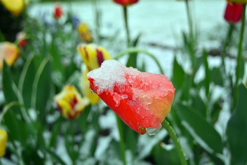 Χιονισμένες κίτρινες και κόκκινες τουλίπες άνοιξη closeup στοκ φωτογραφία με δικαίωμα ελεύθερης χρήσης