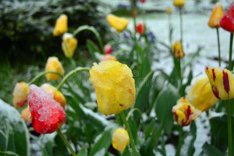 Χιονισμένες κίτρινες και κόκκινες τουλίπες άνοιξη closeup στοκ εικόνα