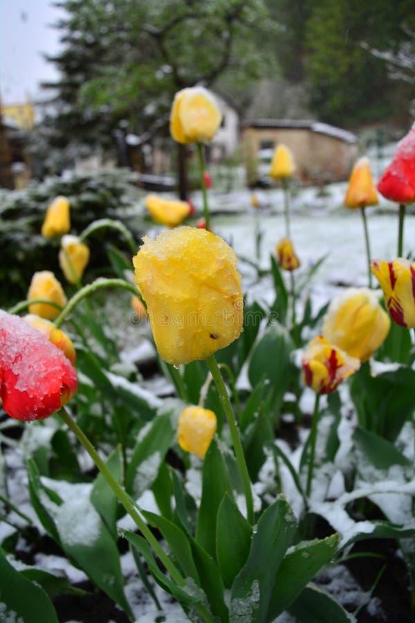 Χιονισμένες κίτρινες και κόκκινες τουλίπες άνοιξη closeup στοκ εικόνες