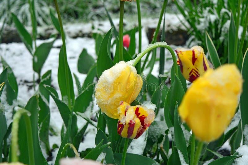 Χιονισμένες κίτρινες και κόκκινες τουλίπες άνοιξη closeup στοκ φωτογραφίες