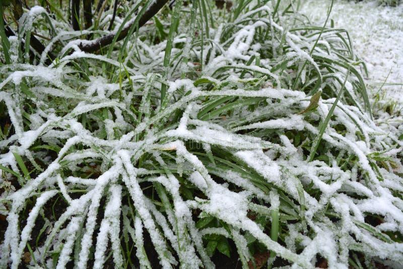 Χιονισμένη πράσινη χλόη άνοιξη σε έναν κήπο στοκ φωτογραφίες με δικαίωμα ελεύθερης χρήσης