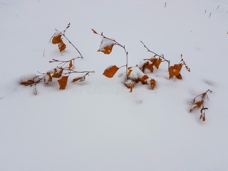 Χιονισμένος βγάζει φύλλα στο έδαφος στοκ εικόνες