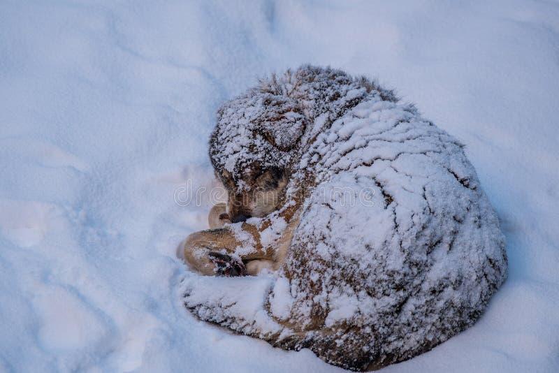 Χιονισμένος στο λύκο στοκ εικόνες