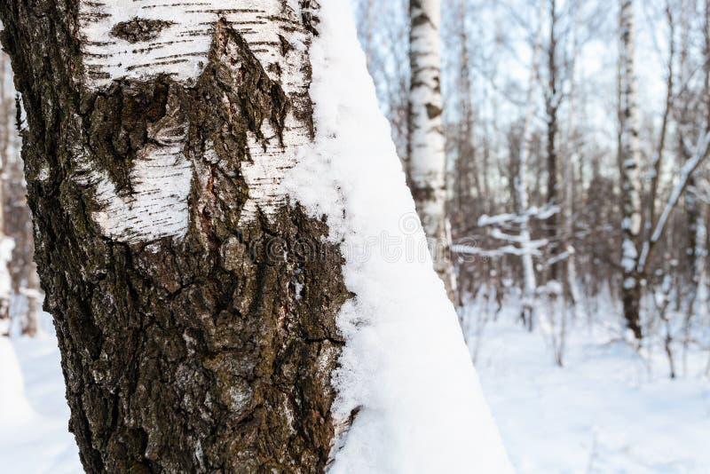 Χιονισμένος φλοιός του παλαιού δέντρου στο άλσος σημύδων στοκ εικόνες με δικαίωμα ελεύθερης χρήσης