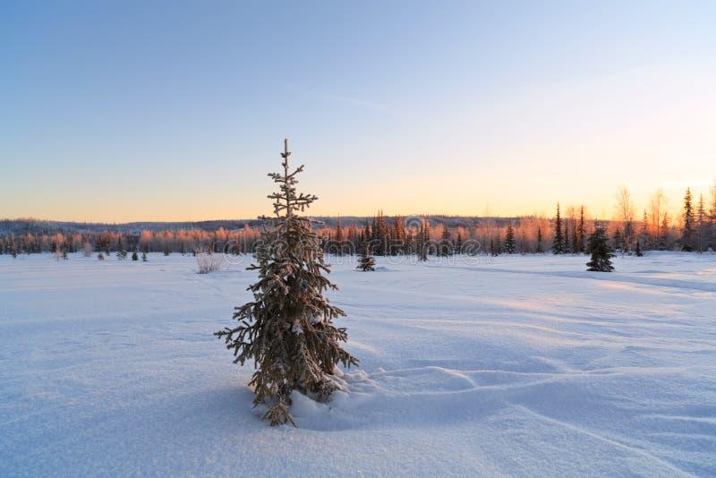 Χιονισμένο δέντρο έλατου στο υπόβαθρο του δάσους το χειμώνα στοκ φωτογραφία