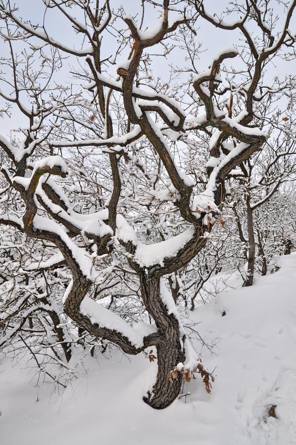Χιονισμένο παλαιό δέντρο στοκ εικόνα με δικαίωμα ελεύθερης χρήσης