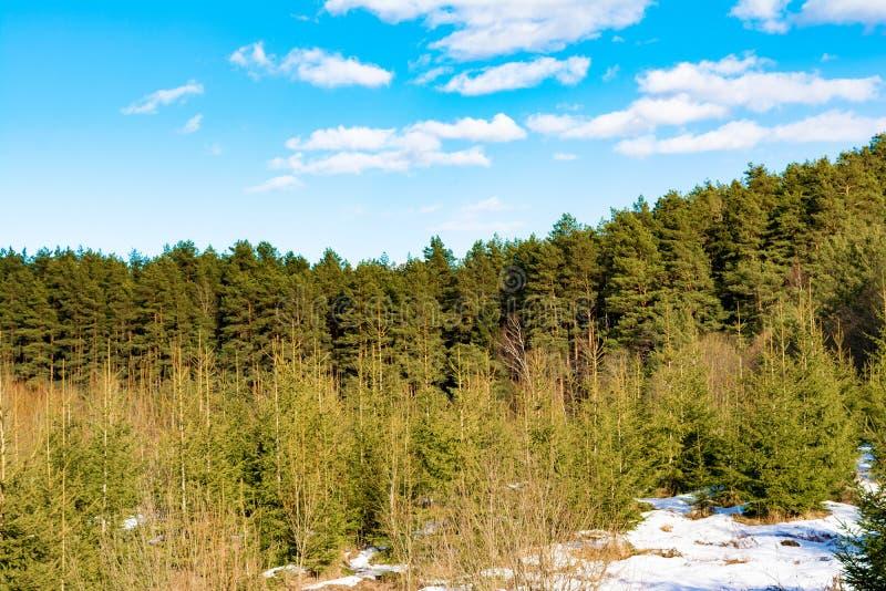Χιονισμένο mountainside με την ανάπτυξη των πεύκων και των μικρών έλατων, ηλιόλουστη ημέρα άνοιξη με το μπλε ουρανό με τα σύννεφα στοκ φωτογραφίες