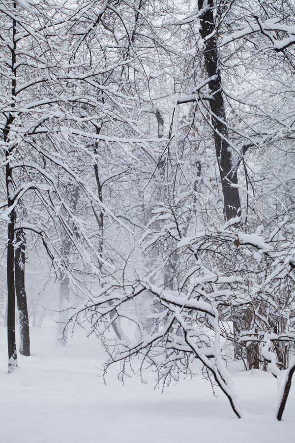 Χιονοπτώσεις στο πάρκο, σκηνή χειμερινού καιρού, χιονισμένο τοπίο δέντρων Έννοια άσχημου καιρού Εκλεκτική εστίαση στοκ εικόνες