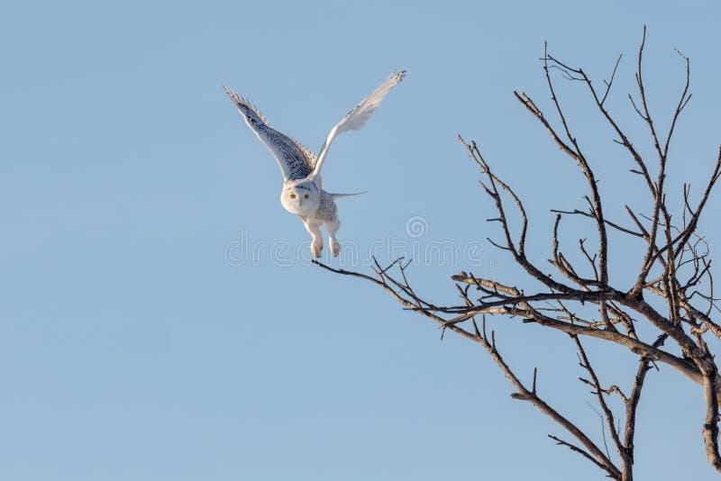 Χιονόγλαυκα που πετά κυνηγώντας στοκ εικόνες με δικαίωμα ελεύθερης χρήσης