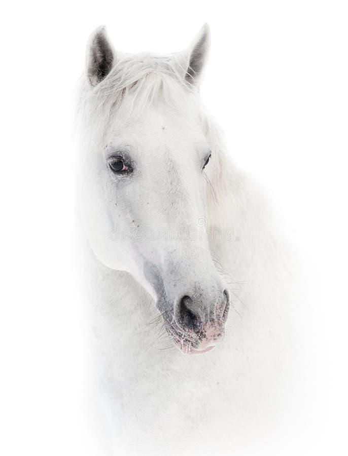 Χιονώδες άσπρο άλογο στο λευκό στοκ εικόνα με δικαίωμα ελεύθερης χρήσης